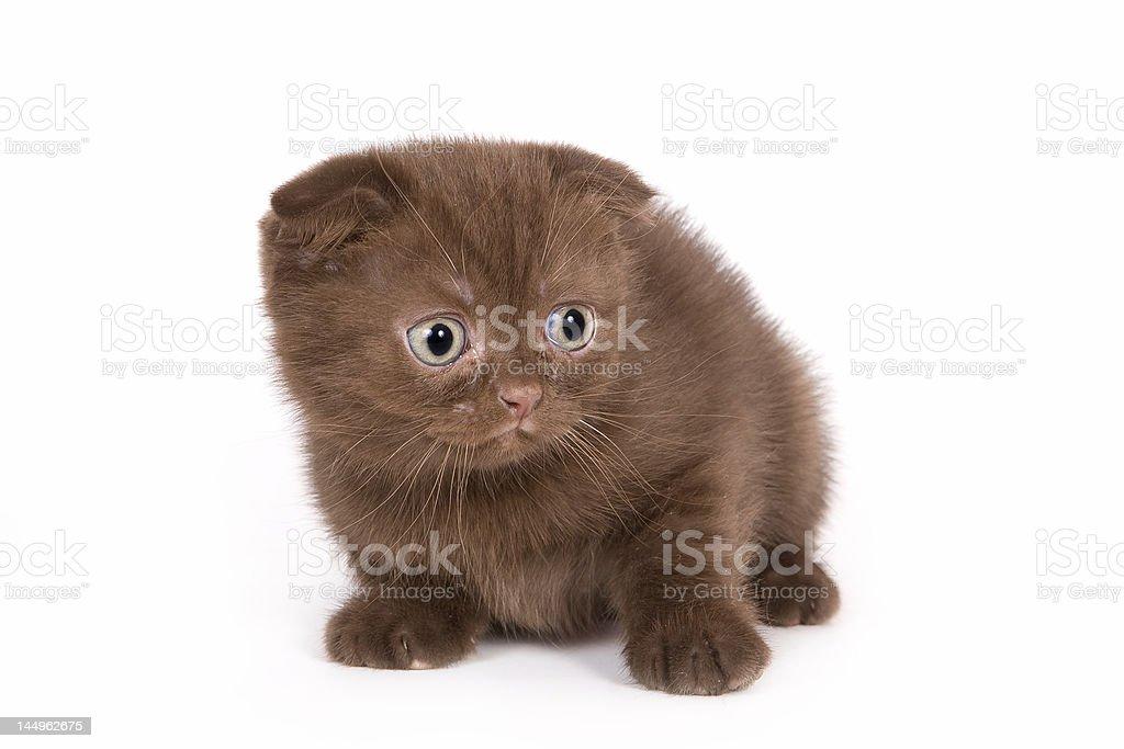 British kitten royalty-free stock photo