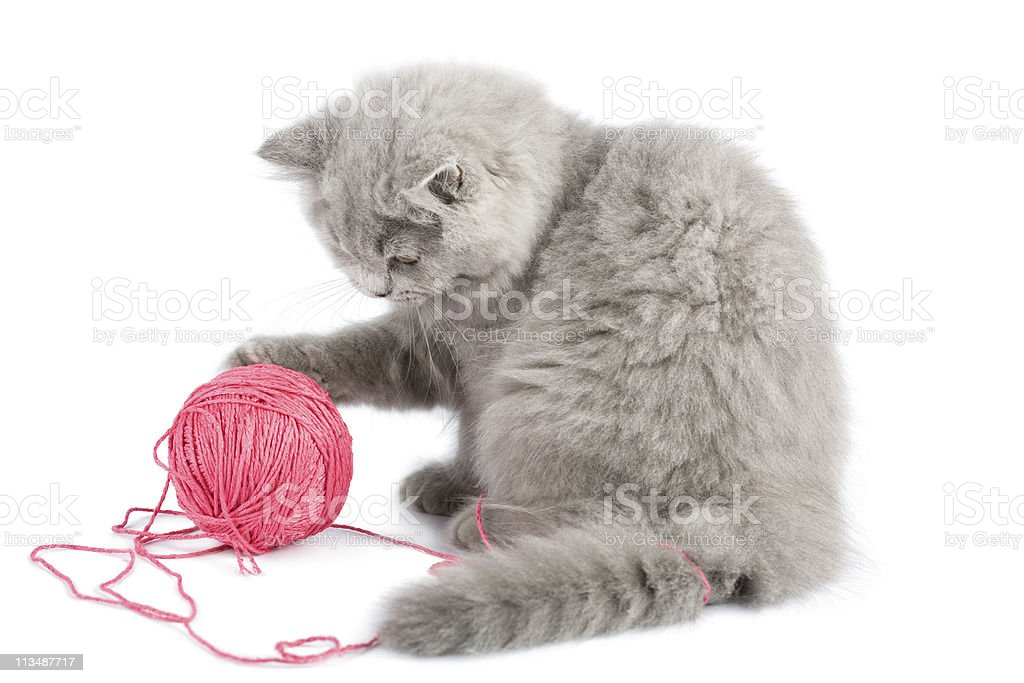 british kitten playing with pink clew isolated royalty-free stock photo