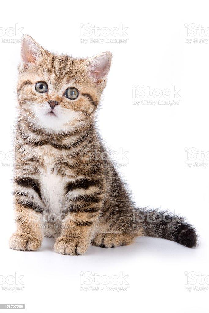 British kittens on white backgrounds stock photo