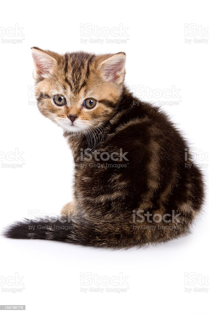 British kittens on white backgrounds royalty-free stock photo