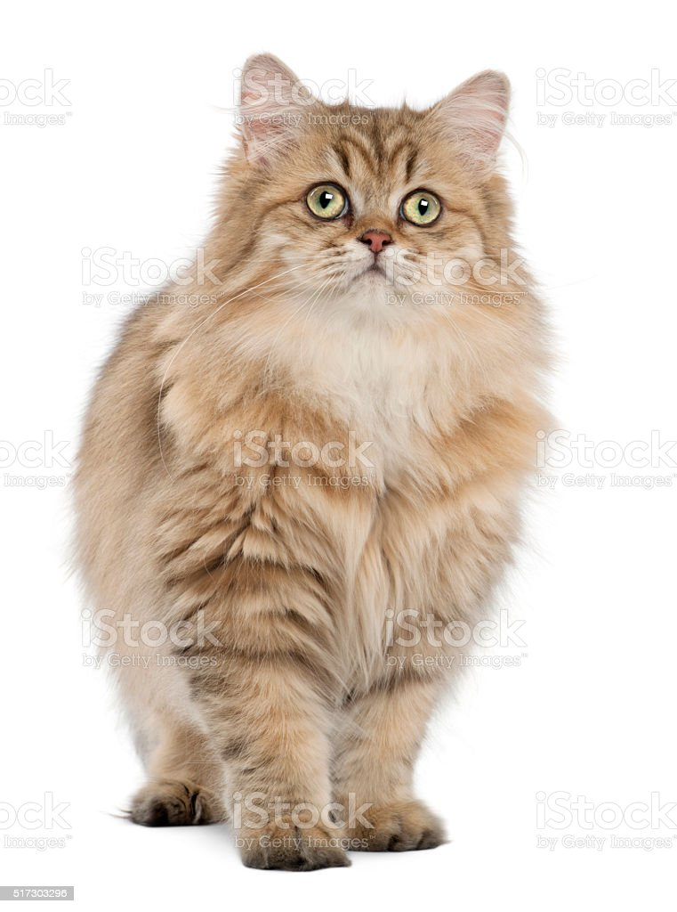 British Longhair cat, 4 months old, standing against white background stock photo