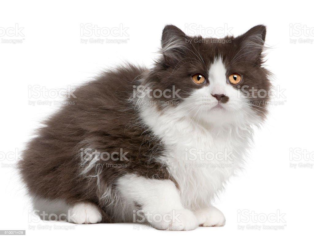 British Longhair kitten, 3 months old, sitting stock photo