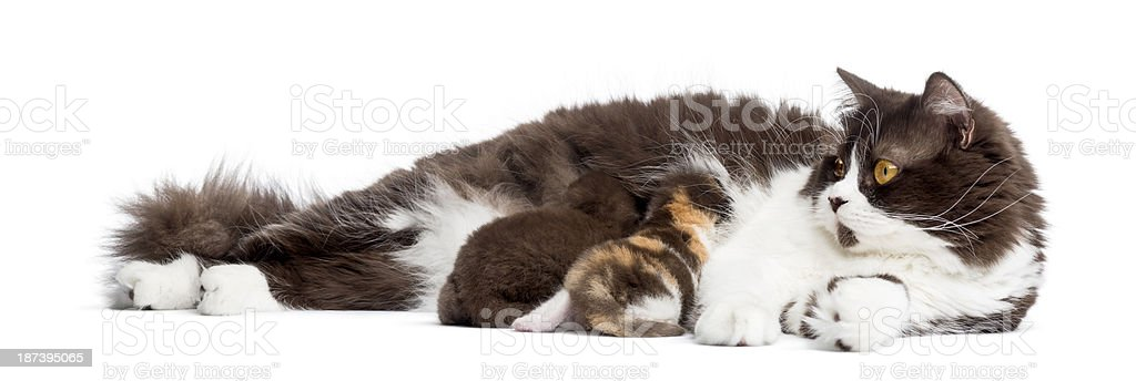 British Longhair lying, feeding its kittens, isolated on white stock photo