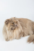 British Longhair on a white background isolated