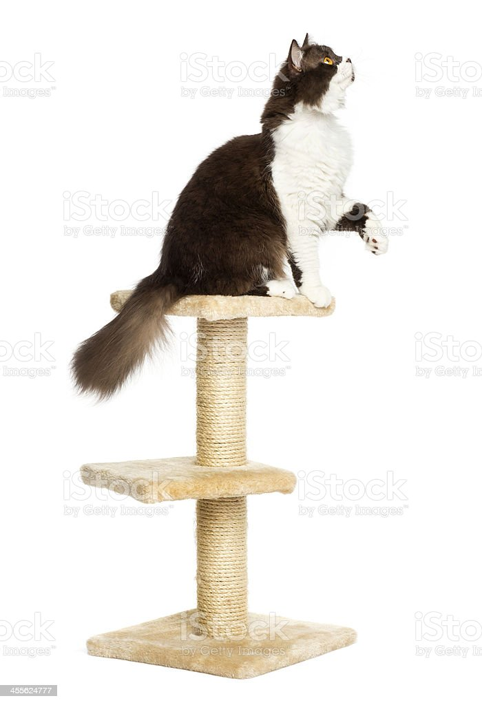 British longhair perched on top of a cat tree, isolated stock photo