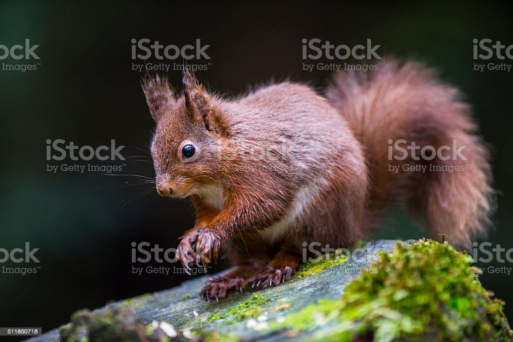 British Red Squirrel stock photo