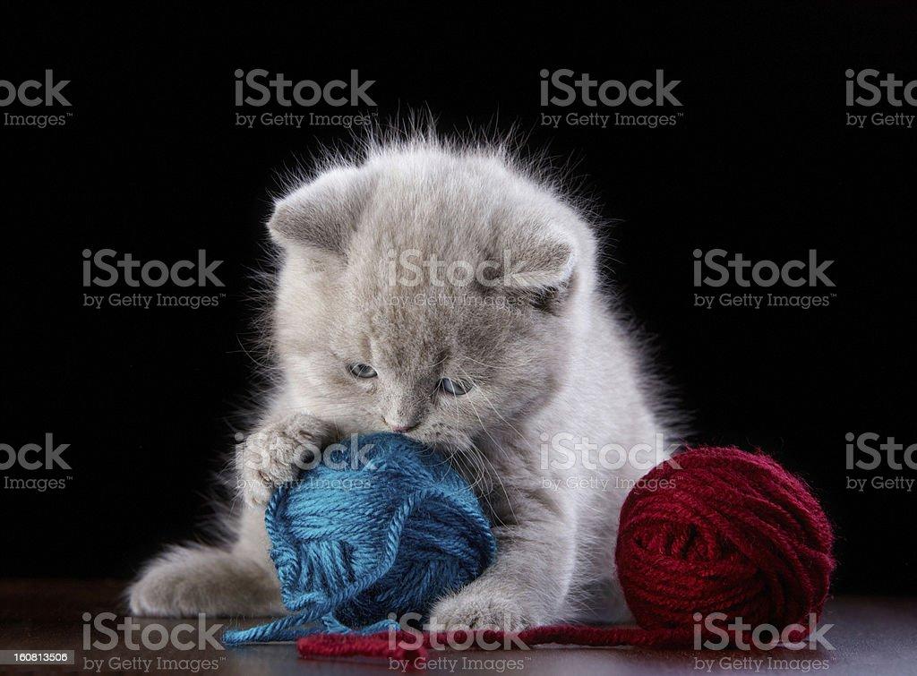British short hair Kitten and ball of yarn royalty-free stock photo
