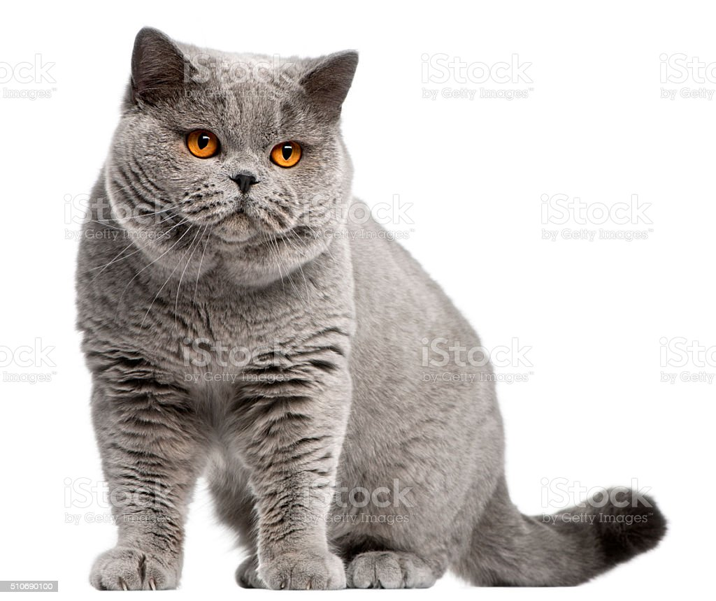British Shorthair cat, 2 years old stock photo