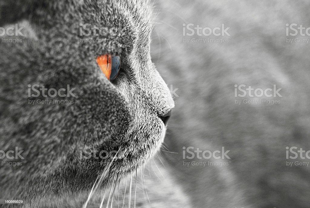 British Shorthair cat detail royalty-free stock photo