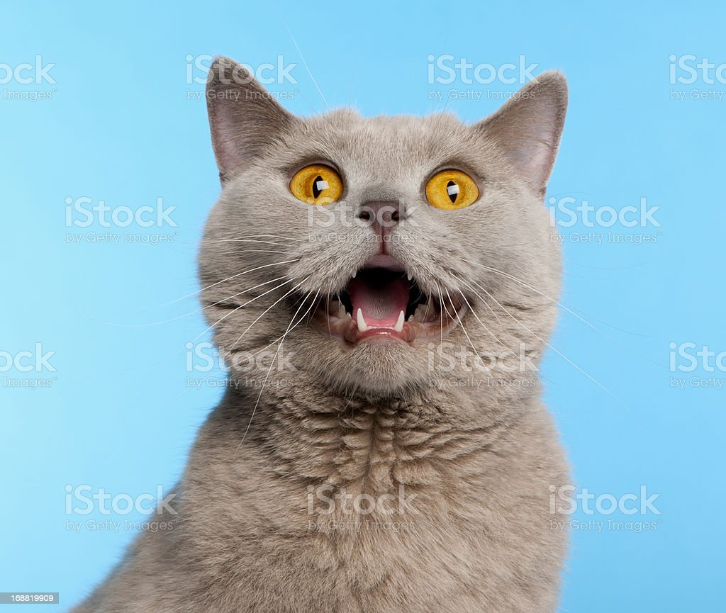 British Shorthair cat in front of blue background stock photo