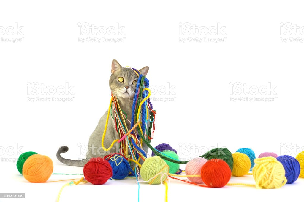 British shorthair cat is playing with colored wool skein stock photo