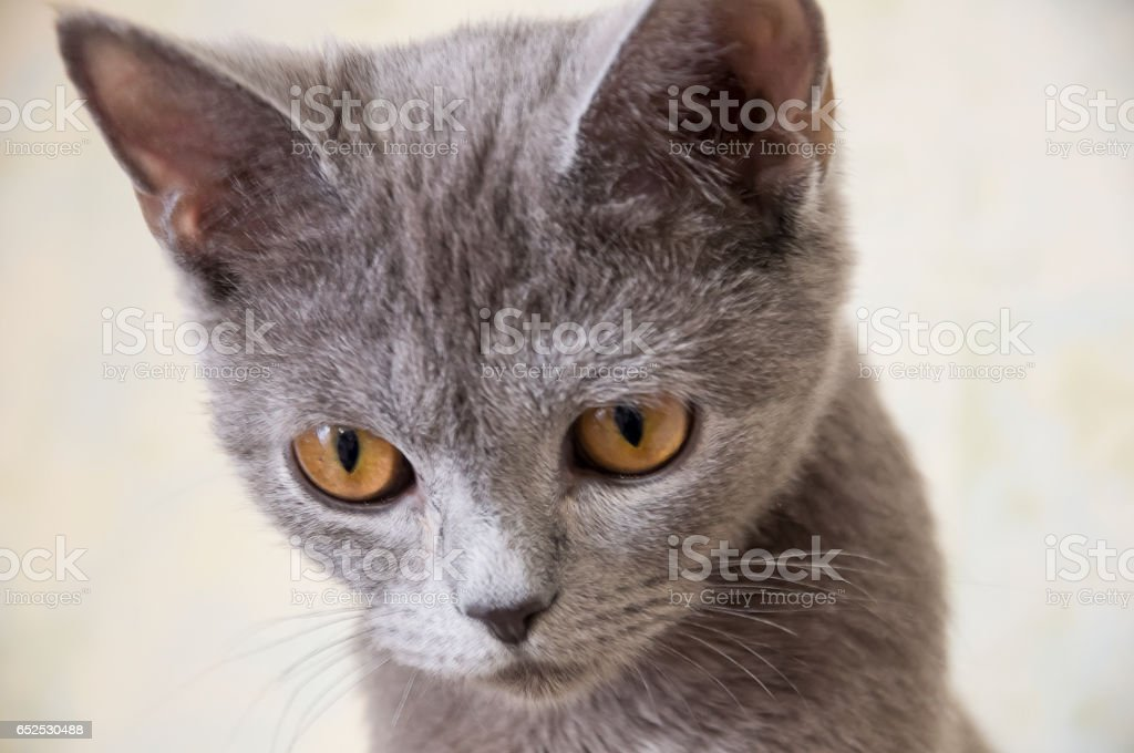 British Shorthair cat is sitting and looking stock photo