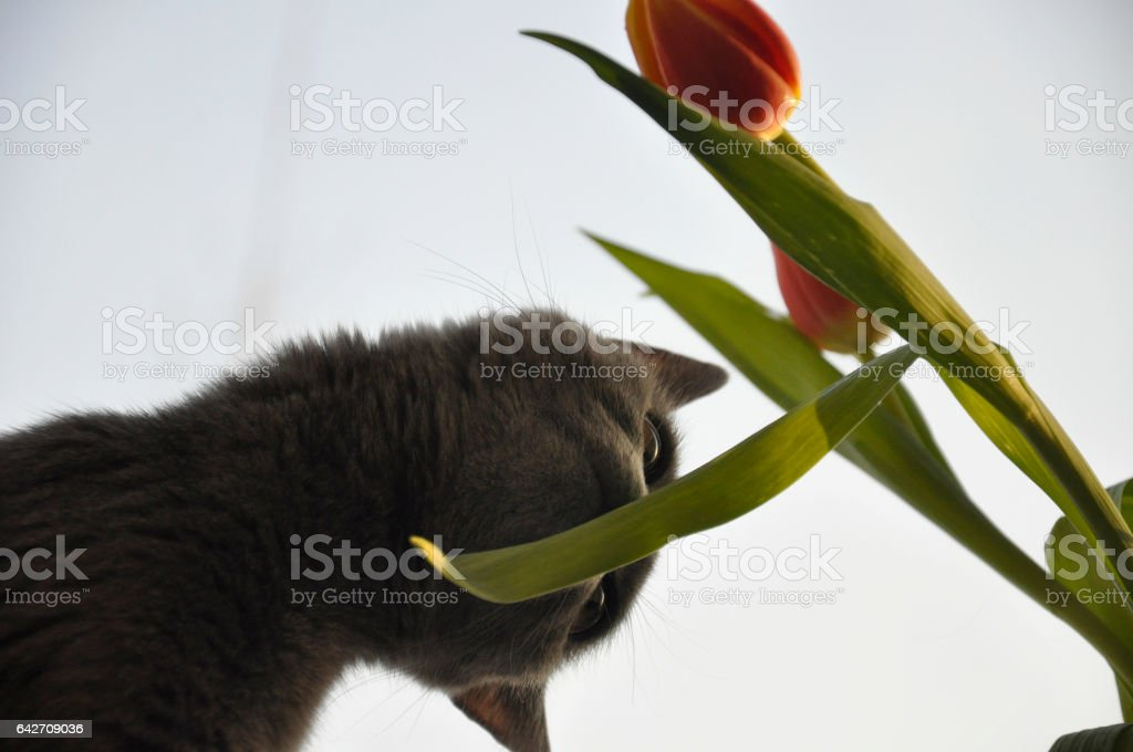British Shorthair cat is smelling red tulip. Silhouette stock photo