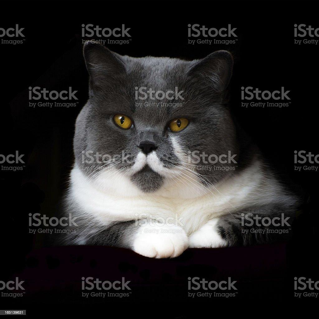 British Shorthair Cat on black Background royalty-free stock photo