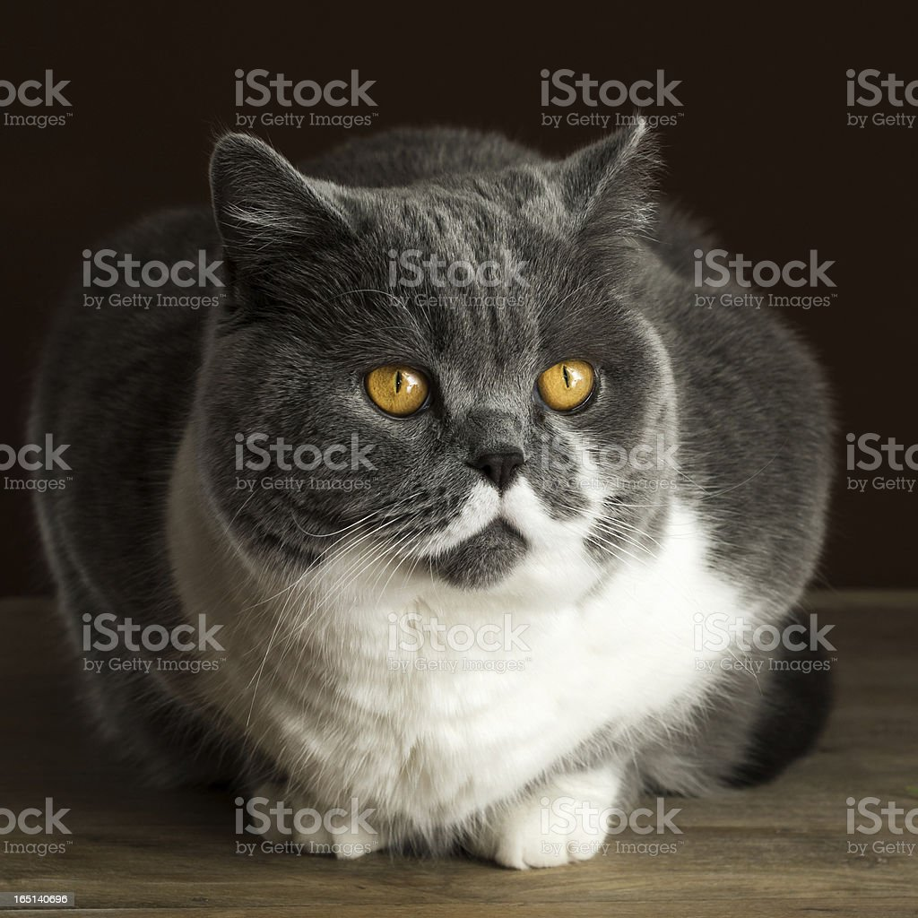 British Shorthair Cat on the Table royalty-free stock photo