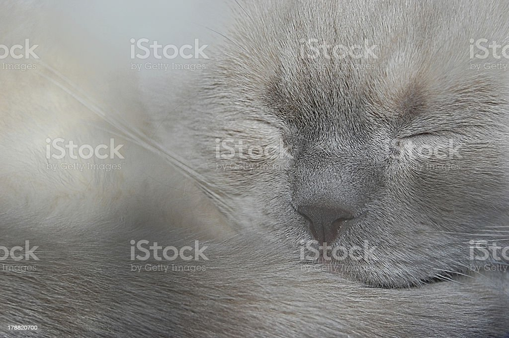 British Shorthair cat royalty-free stock photo