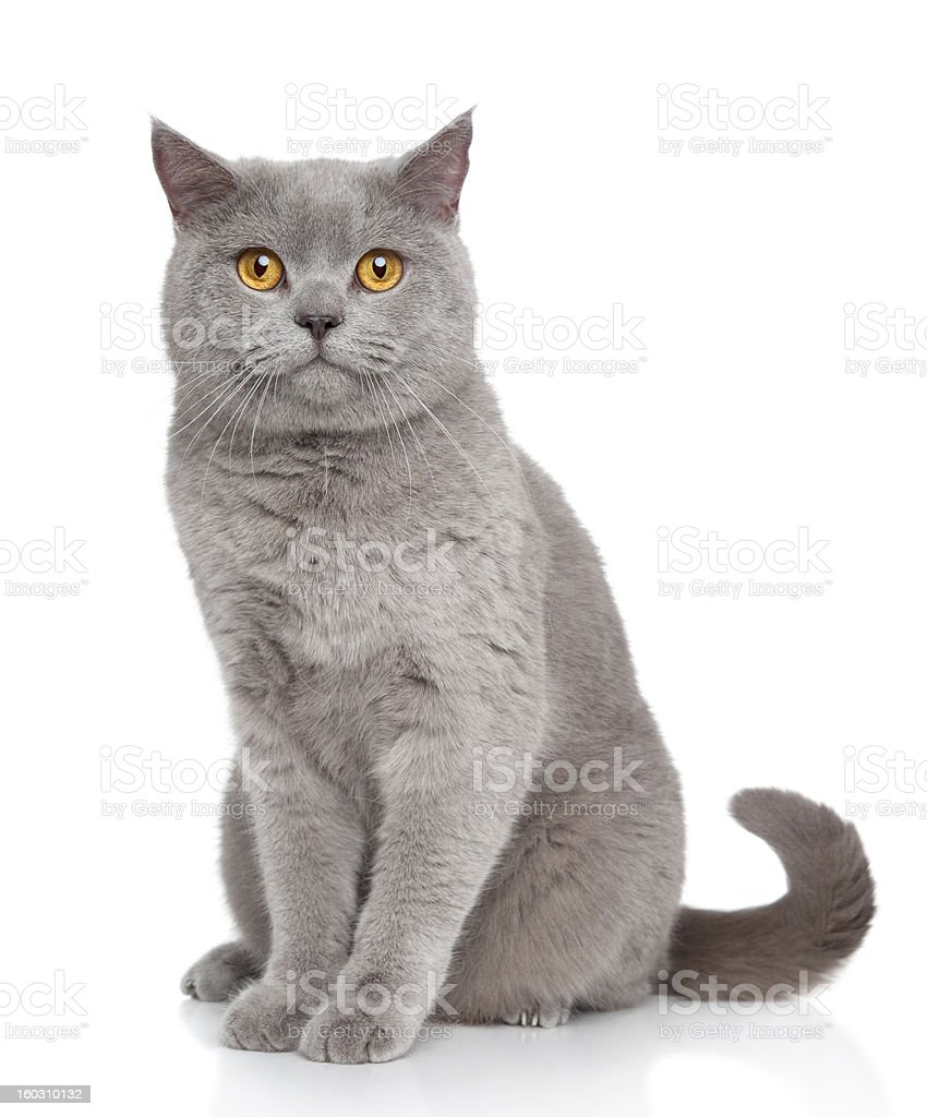 British Shorthair cat portrait stock photo
