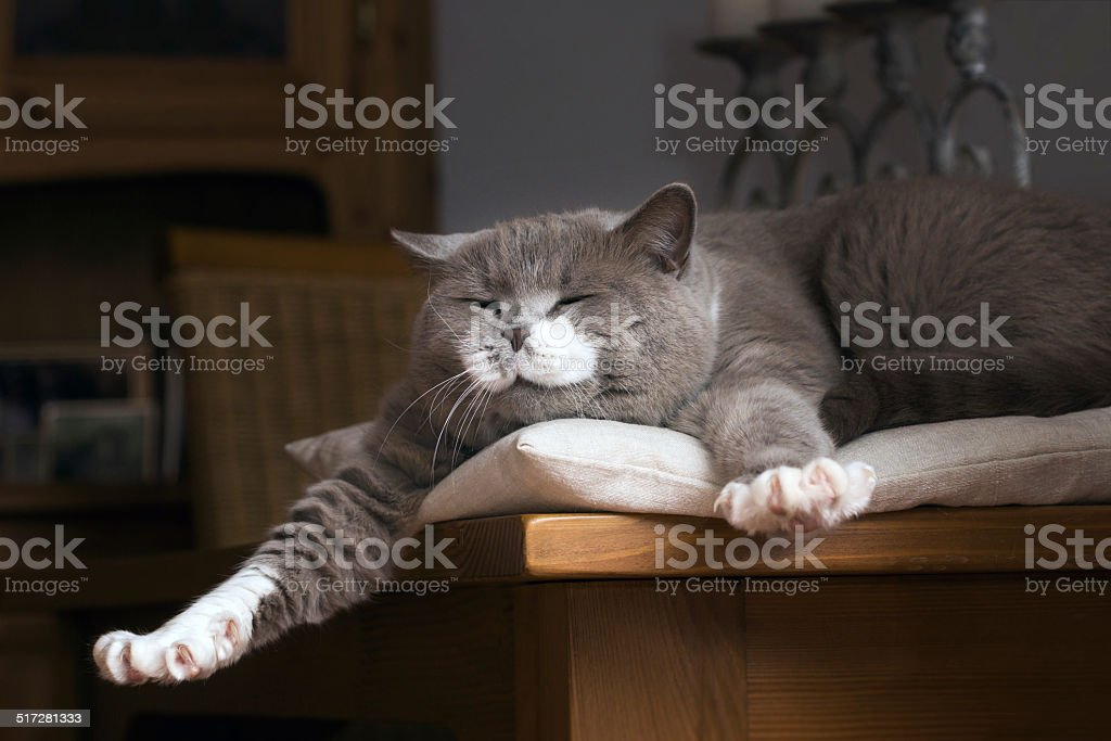 British Shorthair cat wakes up on the table stock photo