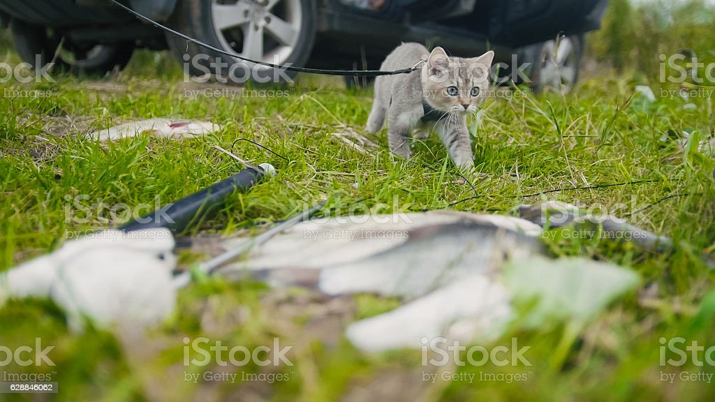 British shorthair cat walking near spear fishing Freshwater Fish at stock photo