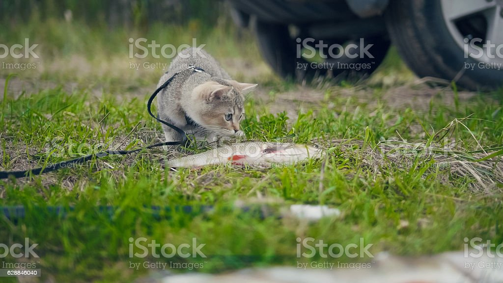 British shorthair cat walking near spear fishing - plays with stock photo