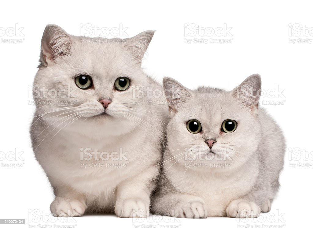 British Shorthair cats, 1 and 6 years old, stock photo