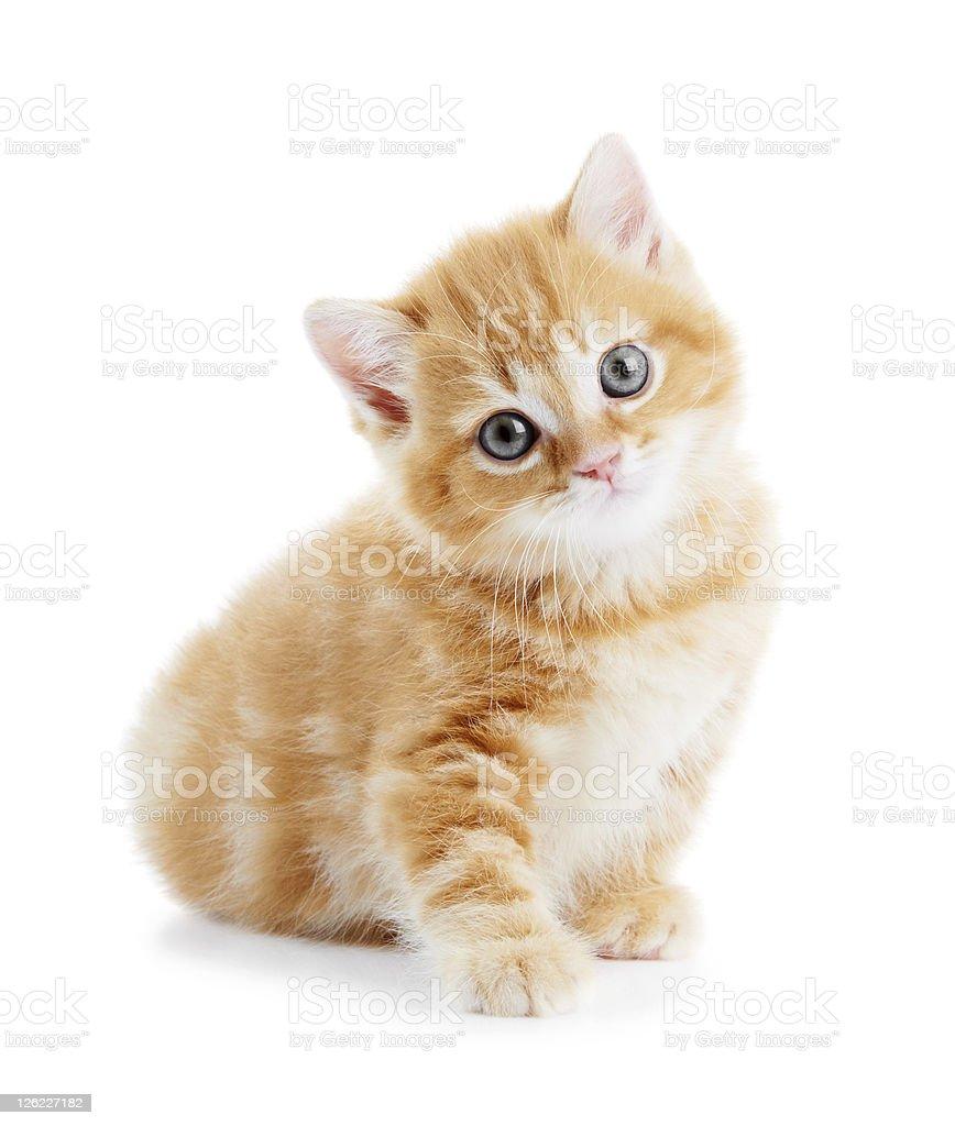 British Shorthair kitten cat isolated royalty-free stock photo