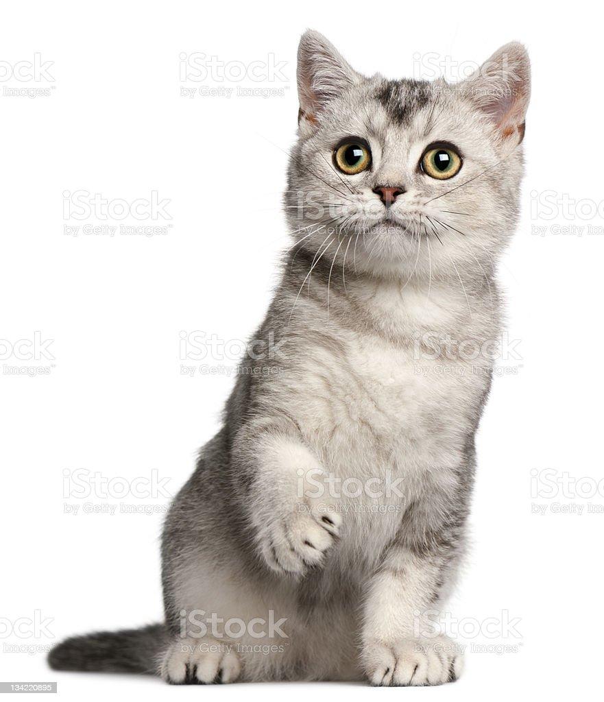 British Shorthair kitten, four months old, sitting, white background. stock photo