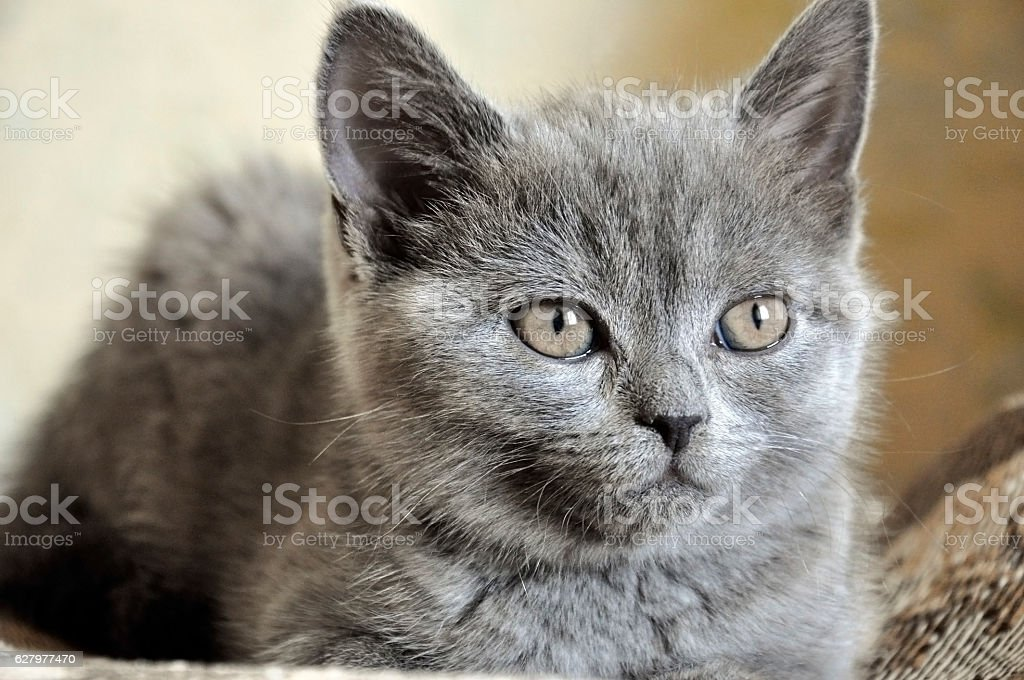 British Shorthair kitten is laying on the bad stock photo