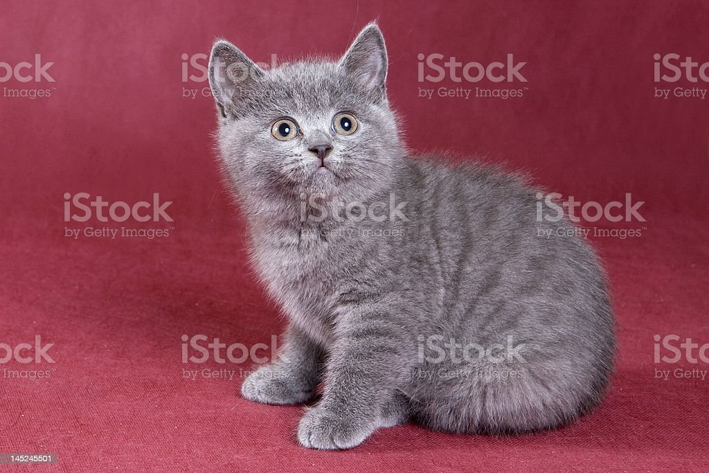 British shorthair kitten royalty-free stock photo