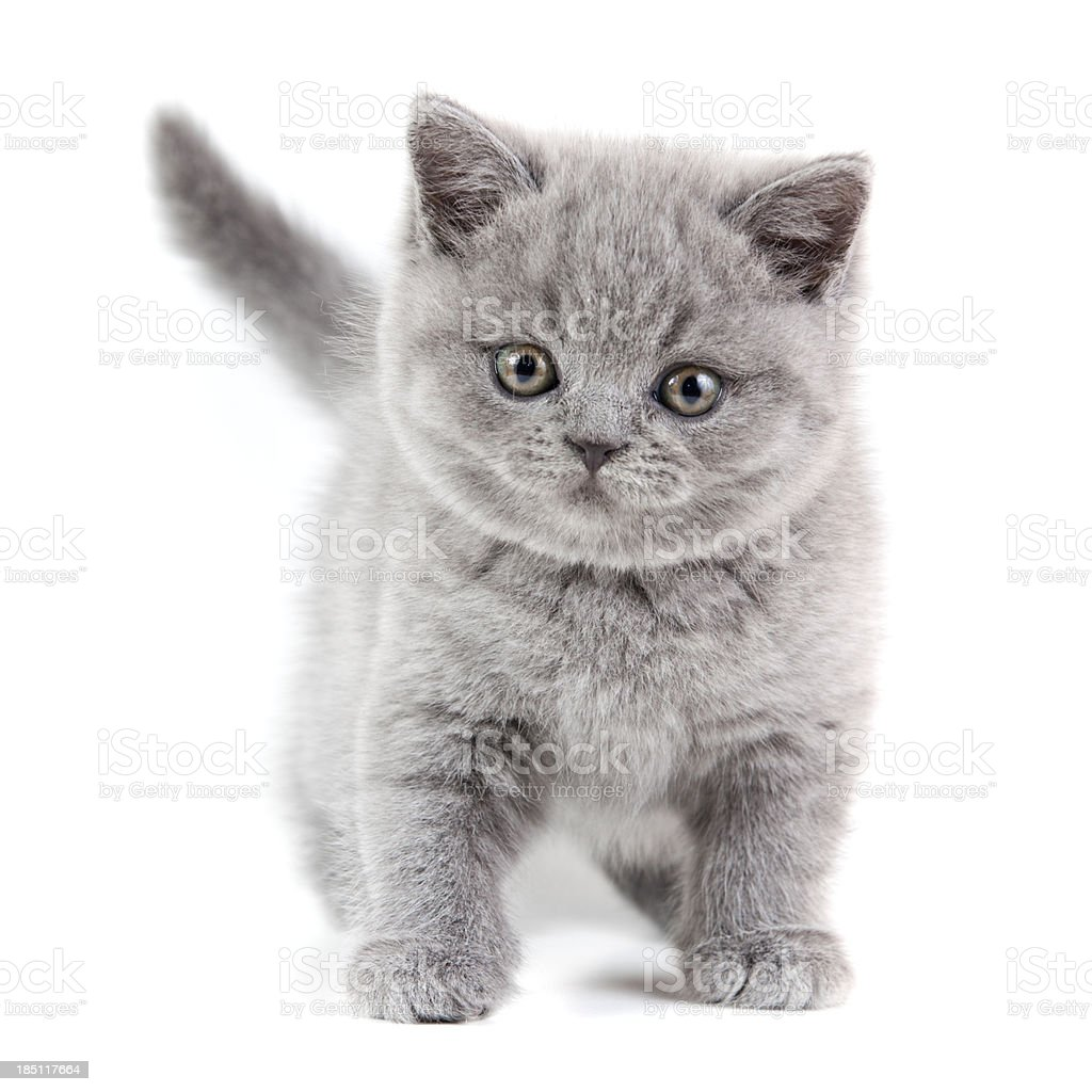 British Shorthair Kitten stock photo