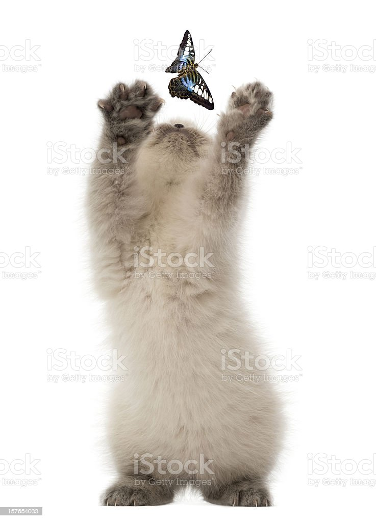 British Shorthair Kitten trying to catch a butterfly royalty-free stock photo