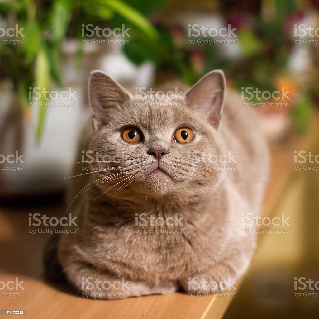 British shorthair lilac cat stock photo