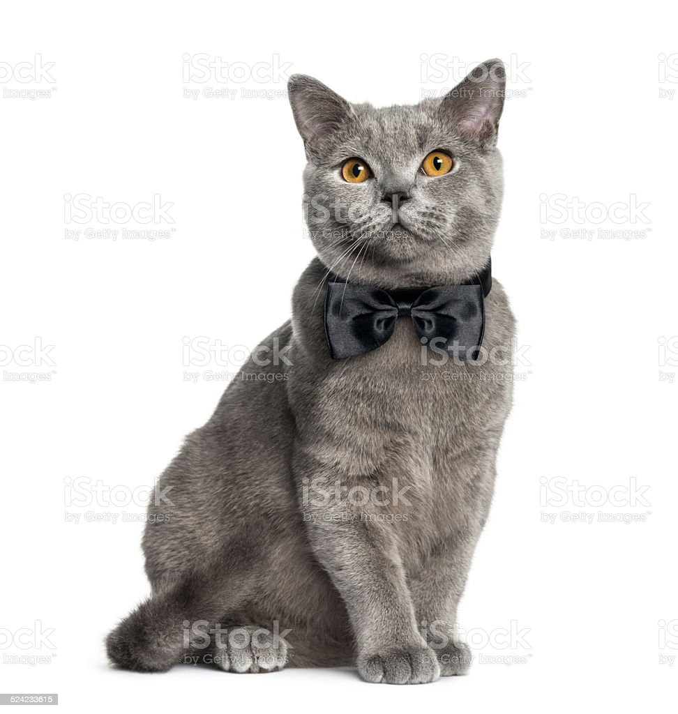 British Shorthair sitting (6 months old) stock photo