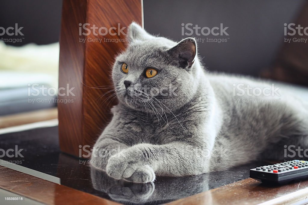 British Shrothair Cat stock photo
