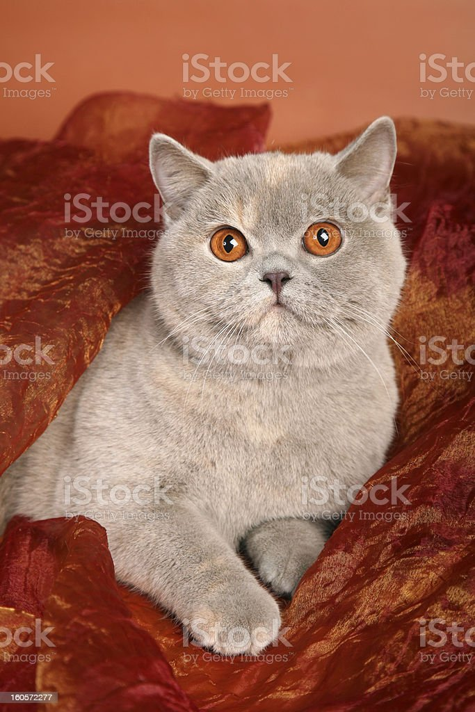 British silver gray cat lying on red textile royalty-free stock photo