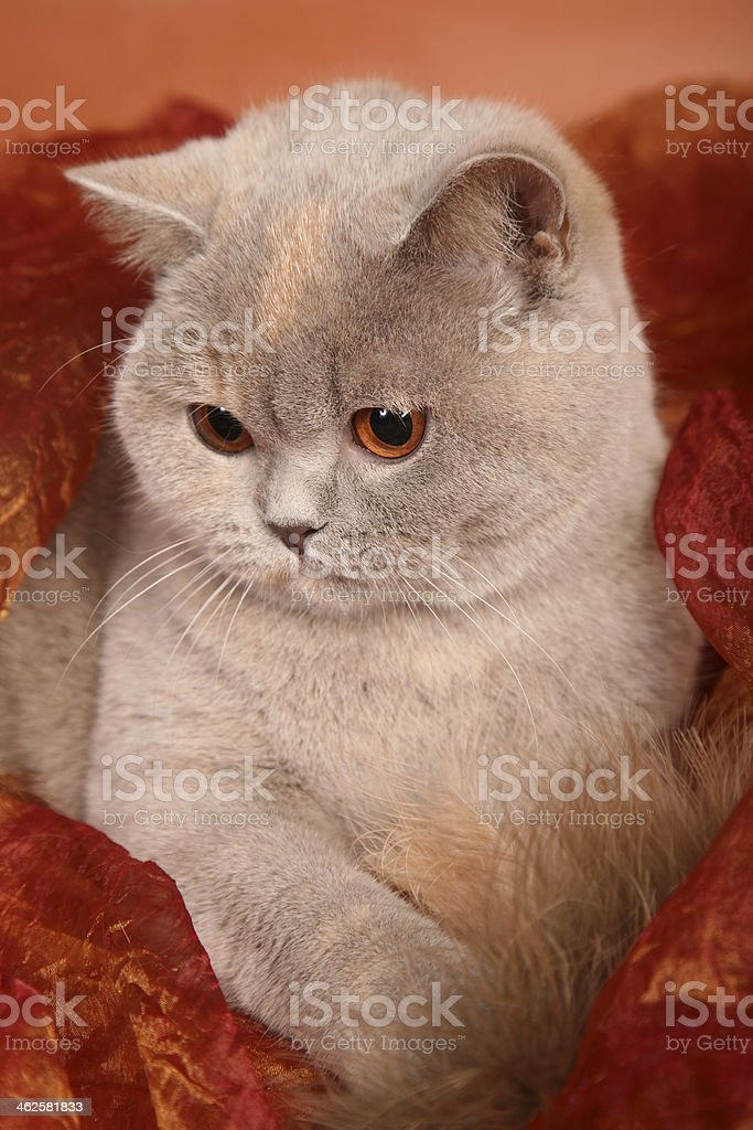 British silver gray cat on red textile holding feather stock photo