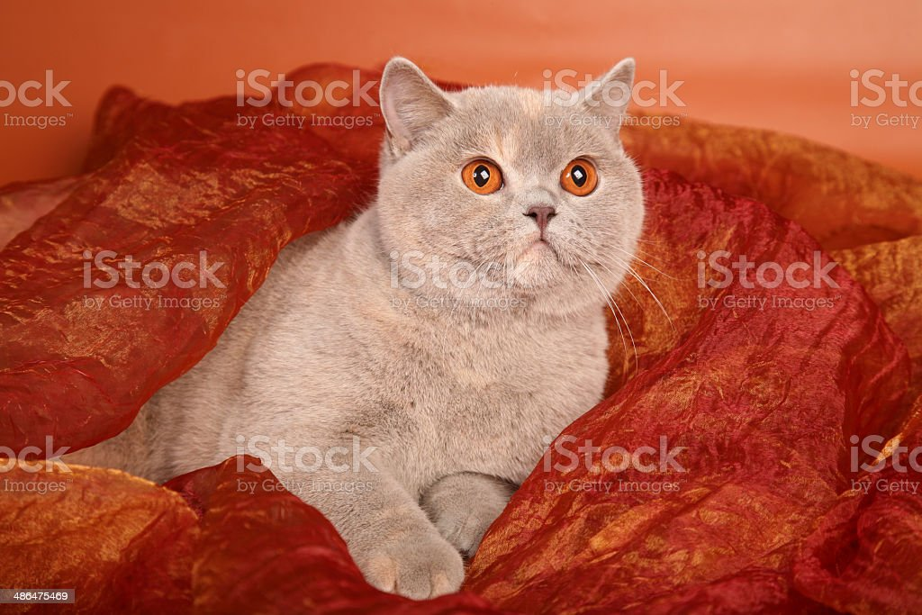 British silver gray cat on red textile horizontal stock photo