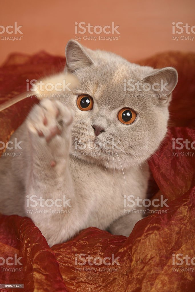 British silver gray cat on red textile playing with toy royalty-free stock photo