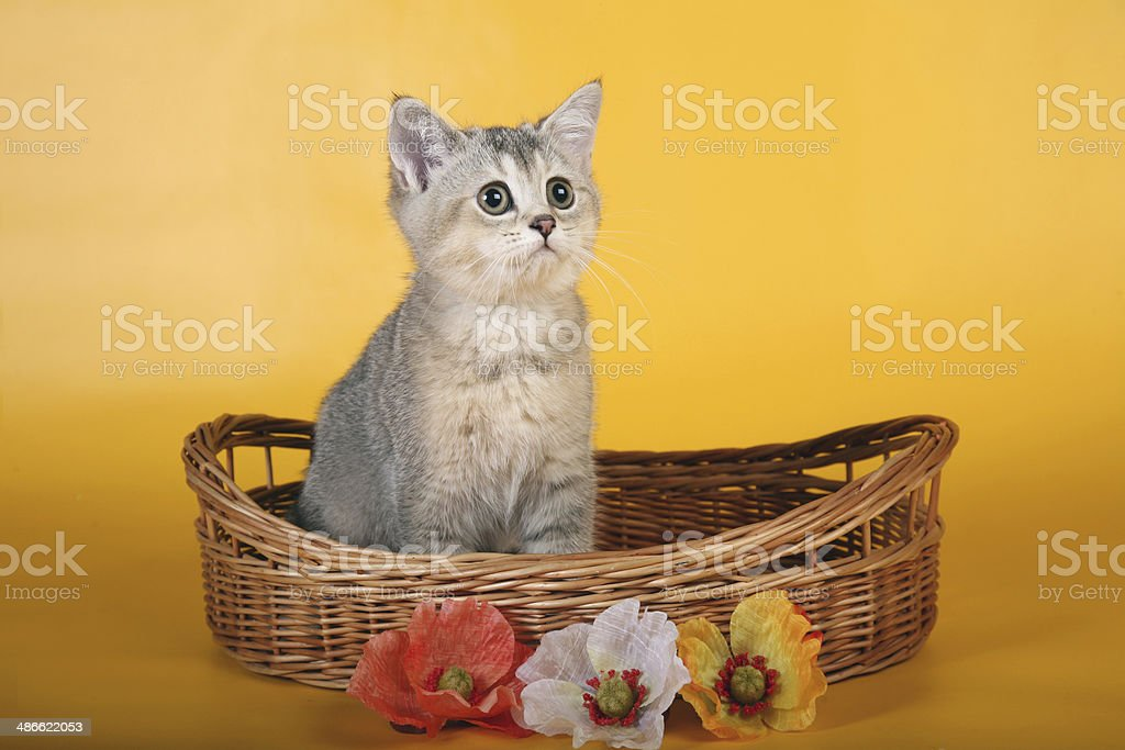 British silver kitten in wicket basket with flowers looking up royalty-free stock photo