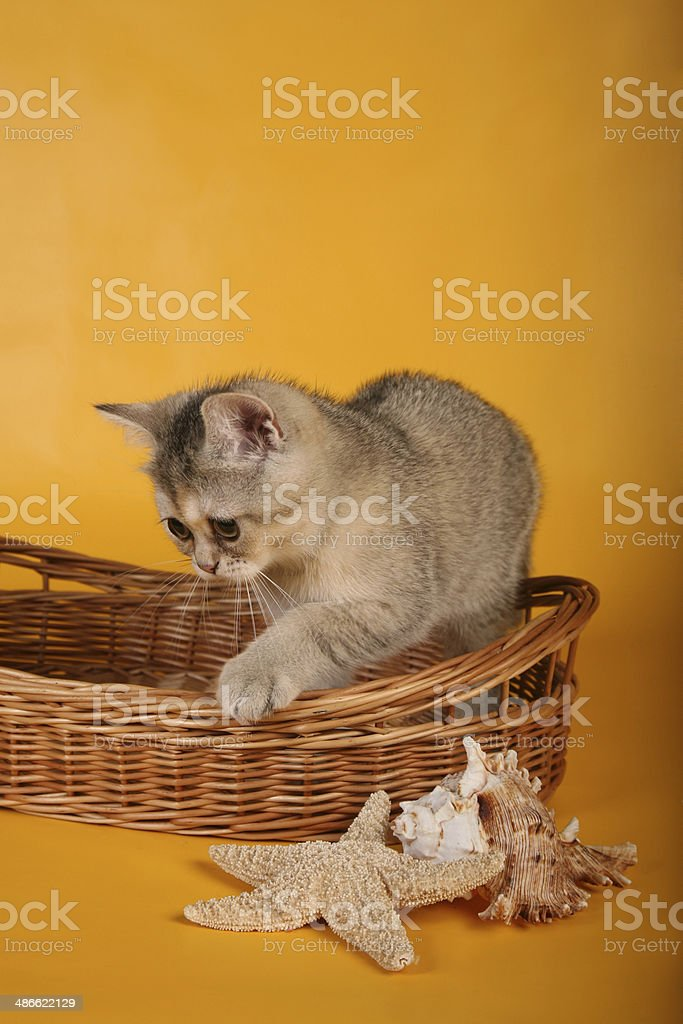 British silver kitten in wicket basket with shells looking aside royalty-free stock photo