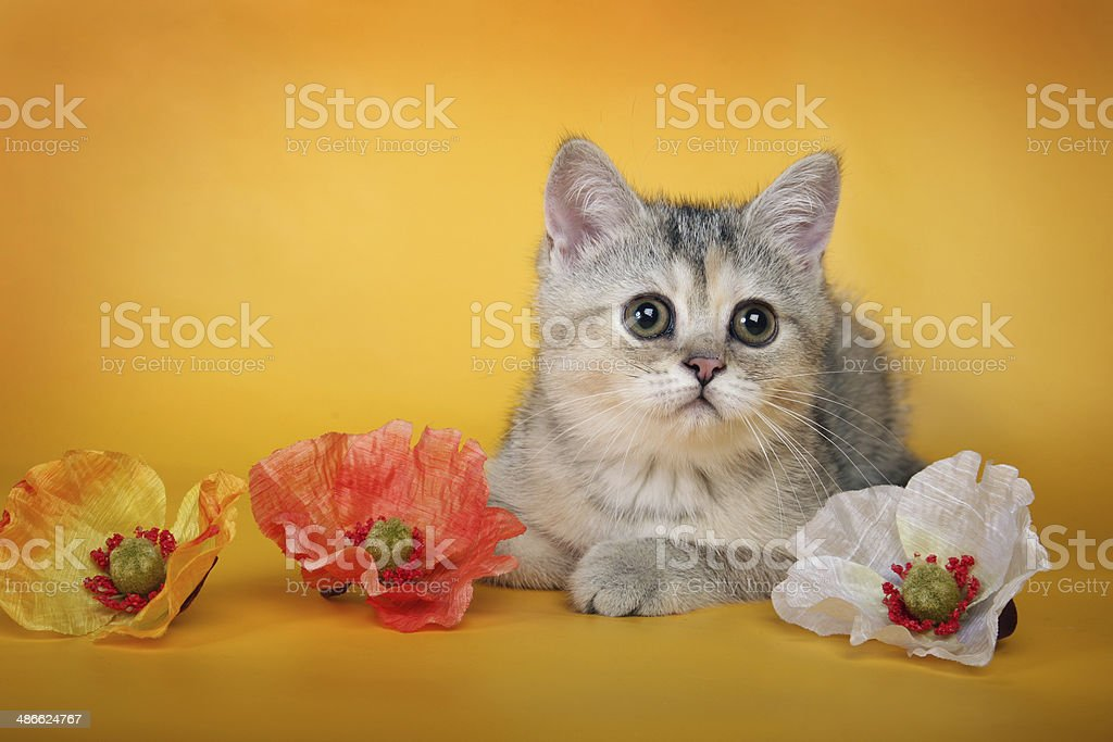 British silver kitten with flowers lying royalty-free stock photo