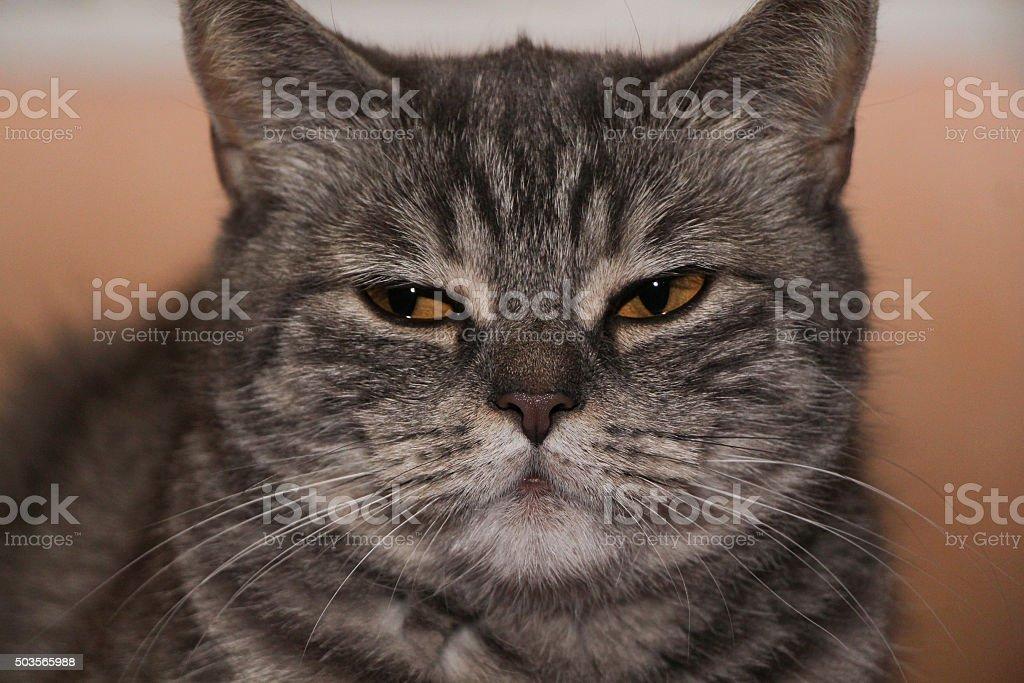 British striped cat stock photo
