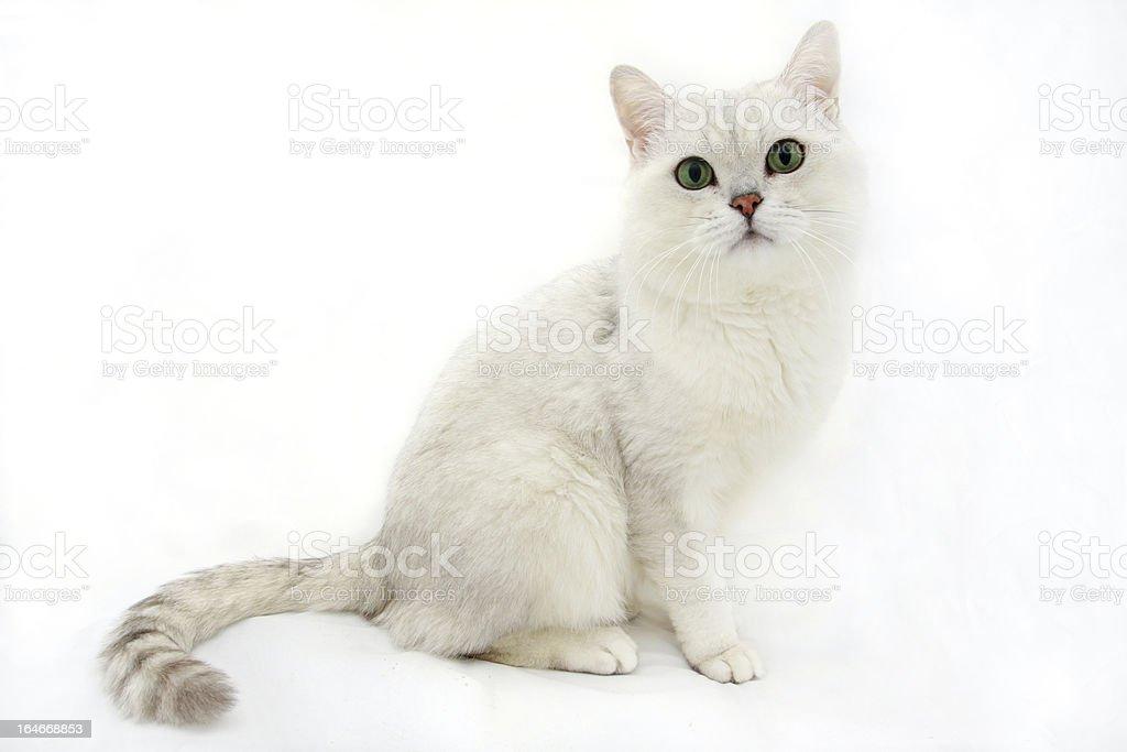 British white cat royalty-free stock photo