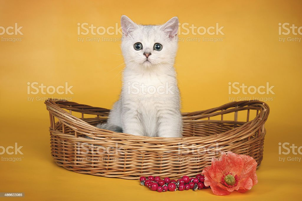 British white kitten in wicket basket calm royalty-free stock photo
