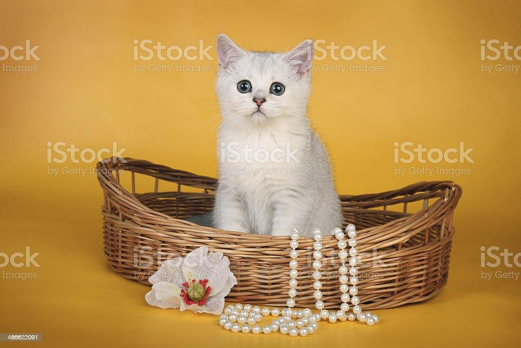 British white kitten in wicket basket horizontal royalty-free stock photo
