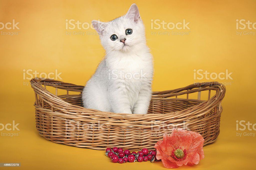 British white kitten in wicket basket with red flower royalty-free stock photo