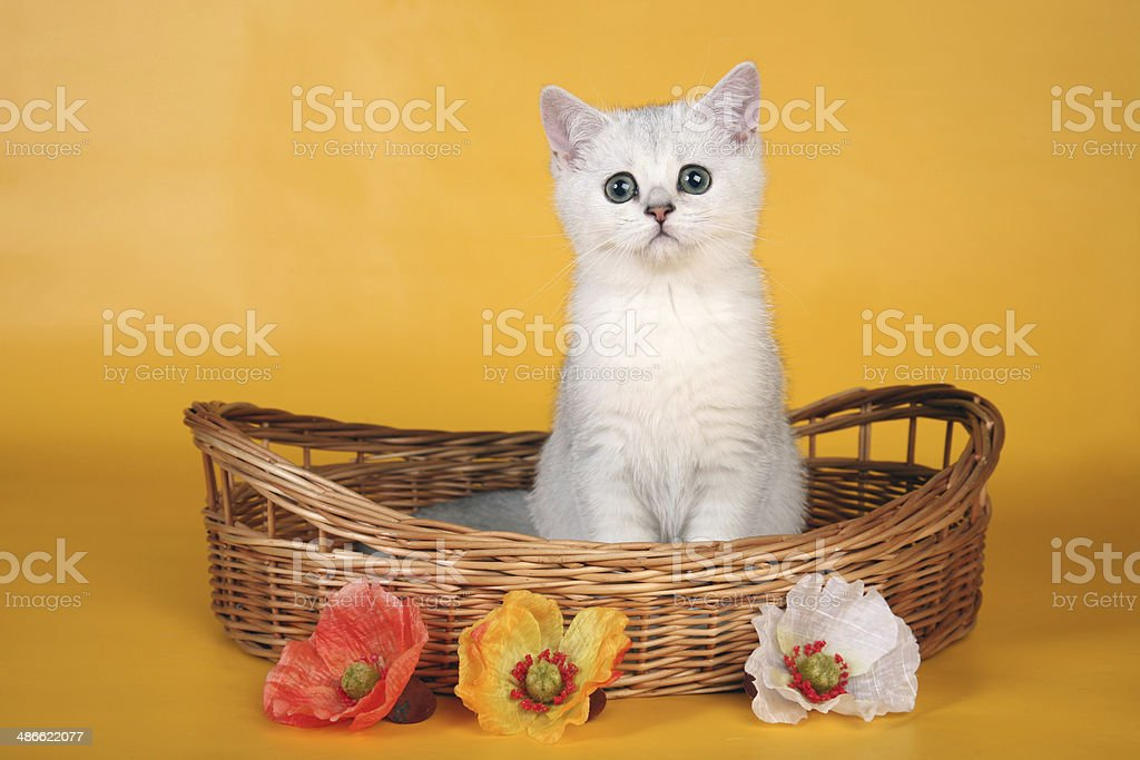 British white kitten in wicket basket with three flowers royalty-free stock photo