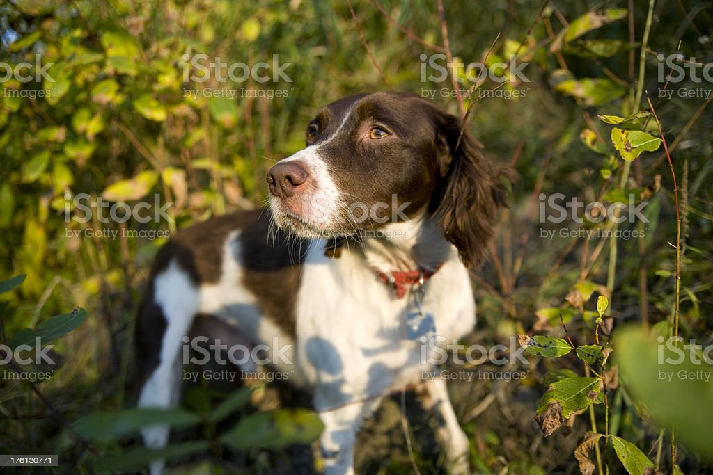 Brittany Spaniel checks the air for scent royalty-free stock photo