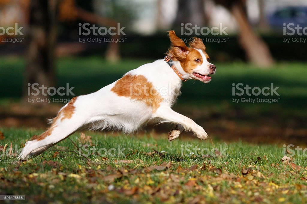 Brittany spaniel dog happily playing in park stock photo