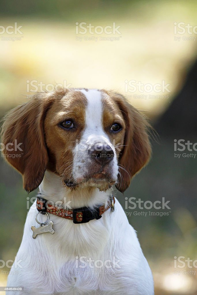 Brittany spaniel, young dog, portrait royalty-free stock photo